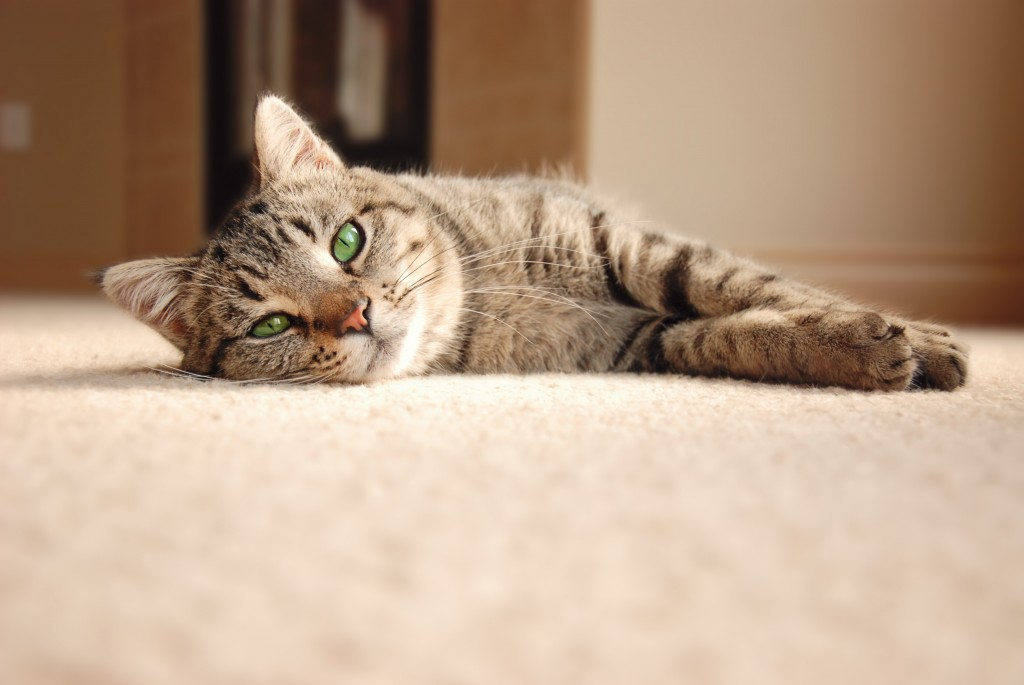 How to Get Cat Pee Out of Carpet - A
